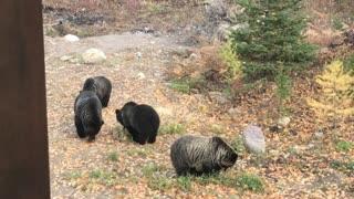 Bears Do Some Backyard Snacking