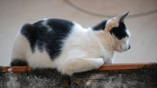 female black & white cat on house roaf