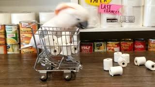 Cockatoo Stocks up on Toilet Paper