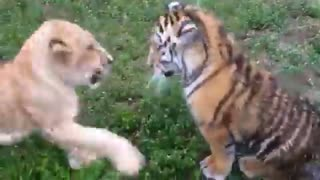 Baby Tiger & Baby lion Fighting! Very Funny