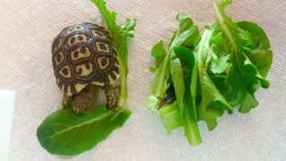 Baby Giant South African Tortoise