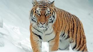 Tigers Mirage Theme 4