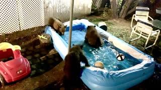 Bear family has late night pool party