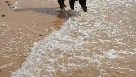 Puppy surprised by the waves