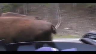 Buffalo encounter at Yellowstone during traffic stall