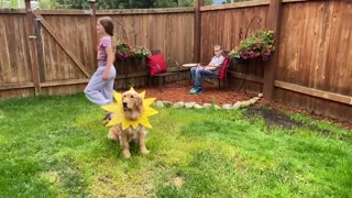 Golden retriever dog used in science homework
