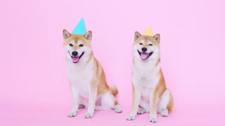 Dog wearing birthday hat | Watch what happen | Funny Dog #7