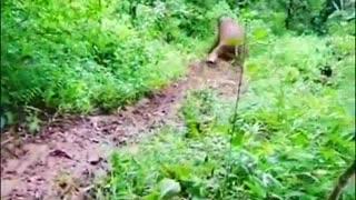 Viral elephant video