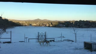 Boz Shepherd Dogs Play in Snow