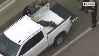 Police just handcuffed a wild alligator in Houston, Texas.