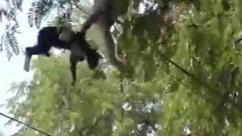 A monkey kidnaps a cat and take it up on the tree
