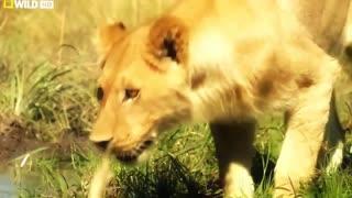Lion Attack - Wildlife Animal Part - 02