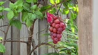# Back Yard Birds Hawai'i Common Minah