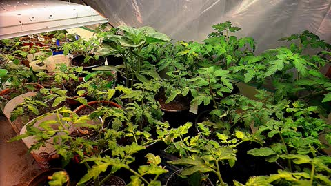 Time Lapse of Tomato Plants Dancing