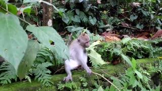 Habby Monkey