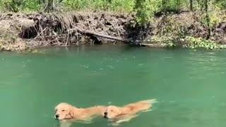 Golden Retrievers Swim Upstream In Perfect Synchronization