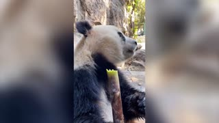 Lovely giant panda from China