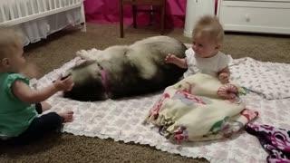 Husky adorably plays with twins