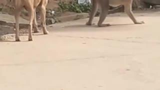 Animal Fights: Monkey trolls dog fun video