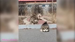 Baby Alaskan Malamute Cutest and Funniest Moments. Try Not To Laugh.