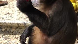Thirsty Monkey Enjoys Favorite Treat