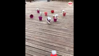 funny and cute little pomeranian