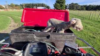 Rescuing a Little Lamb