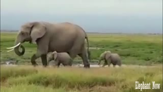 Two Elephants Small Walking Next To His Father.