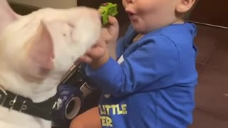 Baby & Mini Bull Terrier preciously play together