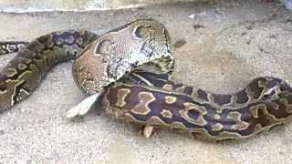 Large Hungry Python Tries To Enter Home, Distracted by Eating A Dead Rabbit Instead