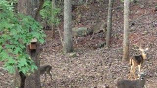 Two Bucks Fighting Over A Doe