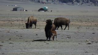 Buffalo Rolling and Roaming