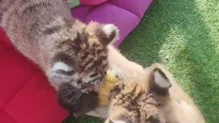 Little tiger bullies little monkey