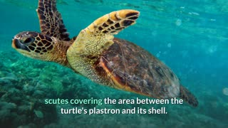 Green Sea Turtle - Description, Characteristics and Facts