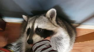 Raccoon likes to pet like a puppy.