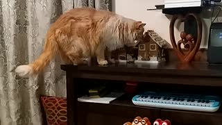 Ginger cat likes Gingerbread
