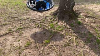 Border Collie Tries Tree Swing