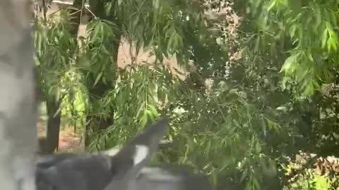 Pigeons fight