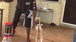 Kangaroo Joey Playing with People