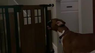 Dog Defies Gate to Retrieve Toy