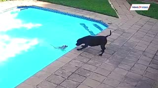WATCH   Dog saves fellow dog from drowning