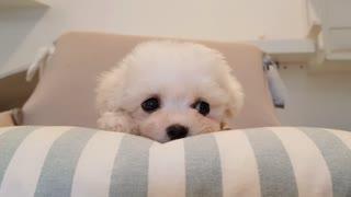 Bichon frise cute puppy