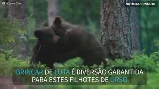 Ataque de fofura! Filhotes adoráveis de urso brincam de lutinha