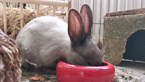 a hungry rabbit