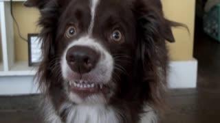 Goofy Dog Flashes Hilarious Smile For Camera