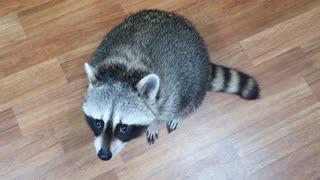 Raccoon rubs his small hands.