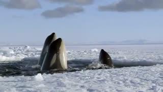 Frozen Planet: Waves of Struggle