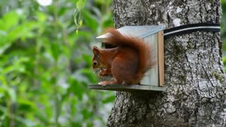 Squirrel feeding time in a tree house