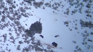 Wolf Pack Surrounds a Grizzly Bear