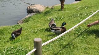 A duck that's not afraid of people.